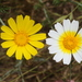 Garland Daisy - Photo (c) James Bailey, some rights reserved (CC BY-NC)