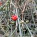 Ephedra triandra - Photo (c) jbar82, some rights reserved (CC BY-NC-SA)