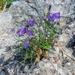 Campanula praesignis - Photo (c) Phil P., algunos derechos reservados (CC BY-NC-SA)