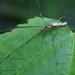 Araña de Zancos Alargados - Photo (c) Cody Hough, algunos derechos reservados (CC BY-NC-SA)