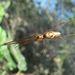 Tetragnatha guatemalensis - Photo (c) mrspiderjoe, algunos derechos reservados (CC BY)
