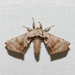 Spotted Apatelodes Moth - Photo (c) Royal Tyler, some rights reserved (CC BY-NC-SA)