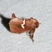 Pin-striped Vermilion Slug Moth - Photo (c) Royal Tyler, some rights reserved (CC BY-NC-SA)