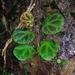 Begonia olivacea - Photo (c) Yusran E. Ritonga, algunos derechos reservados (CC BY-NC)