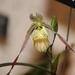 Phragmipedium pearcei - Photo (c) Steven Kurniawidjaja, μερικά δικαιώματα διατηρούνται (CC BY-NC)