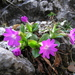Primula clusiana - Photo (c) martind, algunos derechos reservados (CC BY-NC)