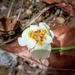 Tigridia mexicana passiflora - Photo (c) Elias Arcadia Nay Exp, osa oikeuksista pidätetään (CC BY-NC)