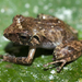 Banded-thighed Rain Frog - Photo (c) Josh Vandermeulen, some rights reserved (CC BY-NC-ND)