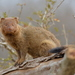 Common Slender Mongoose - Photo (c) copper, some rights reserved (CC BY-NC)