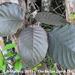 Semilla de Terciopelo - Photo (c) B Mlry, algunos derechos reservados (CC BY-NC)