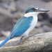 Collared Kingfisher - Photo (c) Tan Kok Hui, some rights reserved (CC BY-NC)