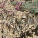 Astragalus malacus - Photo (c) Jim Morefield, osa oikeuksista pidätetään (CC BY)