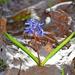 Scilla bifolia - Photo (c) Kostas Zontanos, algunos derechos reservados (CC BY-NC)