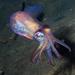 Sepiolidae - Photo (c) Poul Erik Rasmussen, μερικά δικαιώματα διατηρούνται (CC BY-NC)