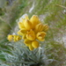Conostylis candicans - Photo (c) botanygirl, μερικά δικαιώματα διατηρούνται (CC BY)