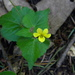 Viola lobata integrifolia - Photo (c) mhays, some rights reserved (CC BY-NC)