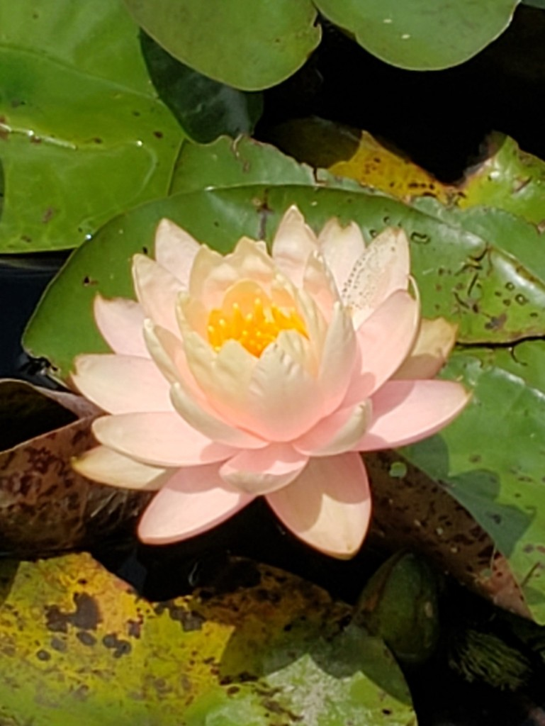 Pink lotus flower on top of a green lily pad