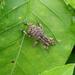 Blosyrus herthus - Photo (c) sunnetchan, algunos derechos reservados (CC BY-NC-SA)