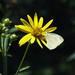 Silphium trifoliatum - Photo (c) Tom Potterfield, osa oikeuksista pidätetään (CC BY-NC-SA)