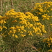 Slender Goldentop - Photo (c) Mary Keim, some rights reserved (CC BY-NC-SA)