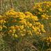 Euthamia caroliniana - Photo (c) Mary Keim, μερικά δικαιώματα διατηρούνται (CC BY-NC-SA)