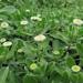 Leptinella featherstonii - Photo (c) matt-walters, osa oikeuksista pidätetään (CC BY-NC)