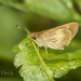 Vehilius stictomenes - Photo (c) Felix Fleck, algunos derechos reservados (CC BY-NC)