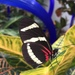 Heliconius hewitsoni - Photo (c) rainbowkitten, algunos derechos reservados (CC BY-NC)