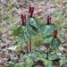 Trillium maculatum - Photo (c) Jordan Broadhead, algunos derechos reservados (CC BY-NC)