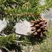 Pinus balfouriana austrina - Photo (c) Jim Morefield, algunos derechos reservados (CC BY)