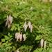 Adlumia fungosa - Photo (c) dogtooth77,  זכויות יוצרים חלקיות (CC BY-NC-SA)