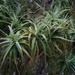 Dracophyllum traversii - Photo (c) Wildlife Travel, algunos derechos reservados (CC BY-NC)