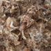 Pruvotfolia pselliotes - Photo (c) deneb16, some rights reserved (CC BY-NC), uploaded by Deneb Ortigosa