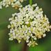 Cicuta maculata - Photo (c) Jerry Oldenettel, algunos derechos reservados (CC BY-NC-SA)