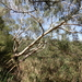 Eucalyptus camaldulensis camaldulensis - Photo (c) Wayne Martin, osa oikeuksista pidätetään (CC BY-NC)