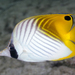 Threadfin Butterflyfish - Photo (c) zsispeo, some rights reserved (CC BY-SA)