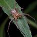Curicaberis peninsulanus - Photo (c) Marshal Hedin, μερικά δικαιώματα διατηρούνται (CC BY-NC-SA)