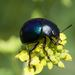 Haldeman's Green Potato Beetle - Photo (c) Eric Carpenter, some rights reserved (CC BY-NC)