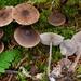 Mycena maculata - Photo (c) Christian Schwarz, μερικά δικαιώματα διατηρούνται (CC BY-NC)