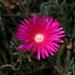 Lampranthus coccineus - Photo (c) Alfonso Gutiérrez Aldana, algunos derechos reservados (CC BY-NC)