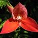 Disa uniflora - Photo (c) Niko Pax, μερικά δικαιώματα διατηρούνται (CC BY-NC-SA)
