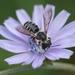 Megachile pugnata pugnata - Photo (c) hankj, μερικά δικαιώματα διατηρούνται (CC BY-NC)