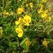 Smithia hirsuta - Photo (c) Suyash Sawant,  זכויות יוצרים חלקיות (CC BY-NC)