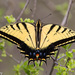 Two-tailed Swallowtail - Photo (c) Greg Lasley, some rights reserved (CC BY-NC)