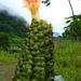 Costus guanaiensis - Photo (c) Dave Skinner,  זכויות יוצרים חלקיות (CC BY-NC)