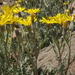 Crepis occidentalis - Photo (c) Jim Morefield, algunos derechos reservados (CC BY)