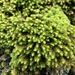 Anomodon viticulosus - Photo (c) Jason Grant, algunos derechos reservados (CC BY)