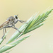 Dune Robber Fly - Photo (c) Ralph Martin, some rights reserved (CC BY-NC-ND)