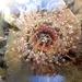 Oulactis muscosa - Photo (c) Tony Wills, algunos derechos reservados (CC BY-SA)
