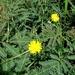 Neptunia oleracea - Photo (c) Ahmad Fuad Morad, algunos derechos reservados (CC BY-NC-SA)